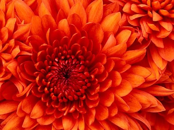 chrysantéme